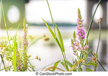 Lythrum Salicaria - Lythrum salicaria flower close to the...