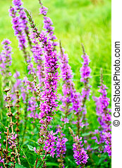 Lythrum salicaria - Long spike inflorescence of pink wild...