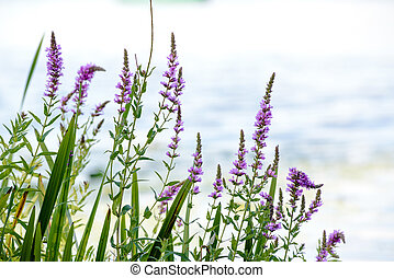 Lythrum salicaria - Pink Lythrum Salicaria growing in a...