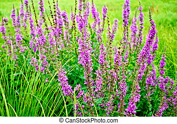 Lythrum salicaria pink - Long spike inflorescence pink...