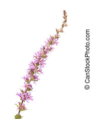 Lythrum salicaria ,purple loosestrife flowering spike...