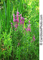 Lythrum salicaria (purple loosestrife). Other names include...