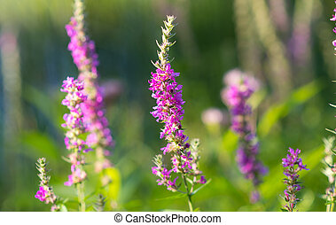 Lythrum salicaria, (Purple loosetrife) weed flower at a...
