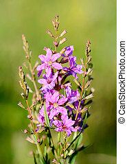 Lythrum Virgatum Flowers - Pink Lythrum virgatum flowers...