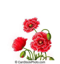 mák, květiny, barva vodová, ilustrace