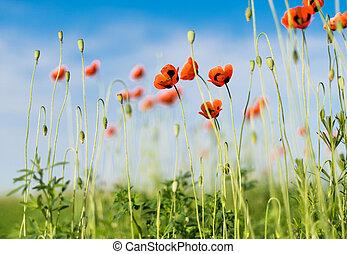 mák, mező, ellen, kék, sky., természet, composition.