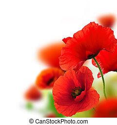 mákok, white háttér, zöld, és, piros, floral tervezés, keret