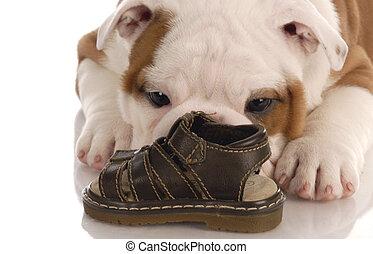 mâcher, bouledogue, -, chaussure, anglaise, vouloir, chiot