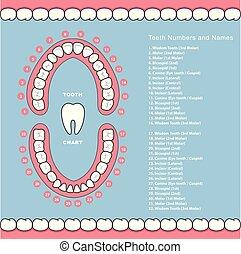 mâchoire, dentaire, -, diagramme, dent, infographics, noms, dents
