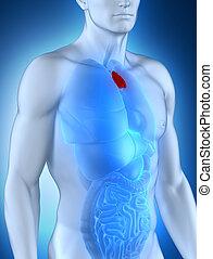 mâle, anatomie, antérieur, thymus, vue