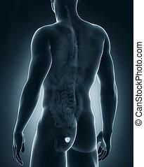 mâle, anatomie, postérieur, prostate, vue