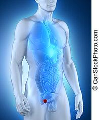 mâle, anatomie, prostate, vue antérieure