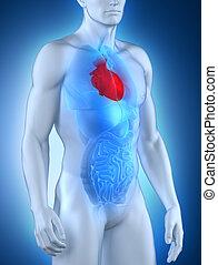 mâle, coeur, anatomie, vue antérieure