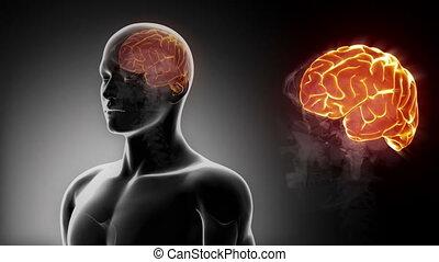 mâle, détaillé, -, vue, cerveau, cerveau