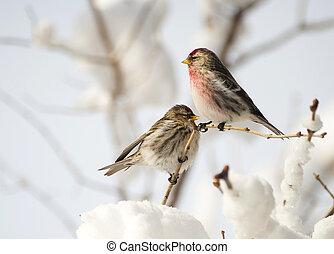 mâle femelle, commun, redpoll.