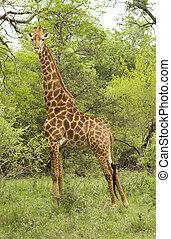 mâle, girafe, closeup