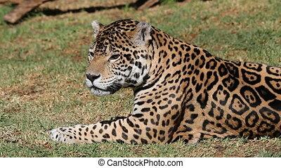 mâle, jaguar
