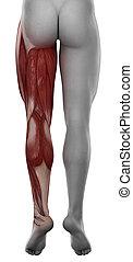 mâle, jambe, isolé, anatomie, postérieur, muscle, vue
