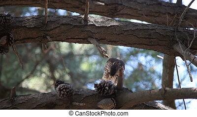 mâle, manger, faucon