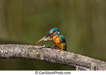 mâle, martin-pêcheur, fish, grand, commun, branche, bec, (alcedo, atthis)