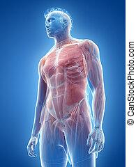 mâle, muscle, système