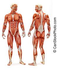 mâle, musculoskeletal, système