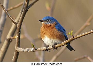 mâle, oiseau bleu, oriental