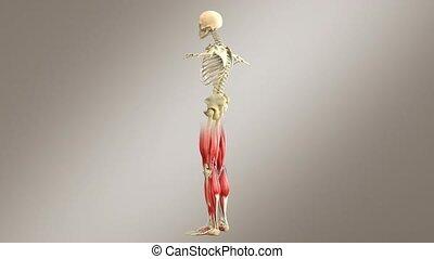 mâle, squelette, -, système, anatomie, muscle humain, palîr