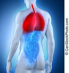 mâle, système, postérieur, anatomie, vue, respiratoire