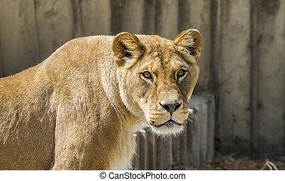 mãe, poderoso, leoa, descansar, fauna, mamífero, withbrown, pele