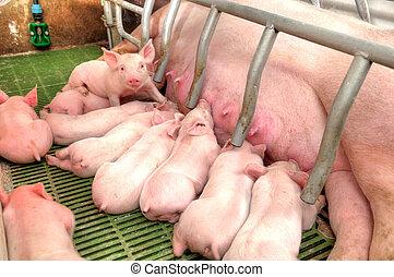 mãe, porca, alimentação, bebê, porcos