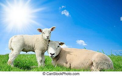 mãe, sheep, e, dela, cordeiro, em, primavera