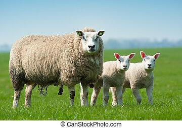 mãe, sheep, e, dela, cordeiros, em, primavera