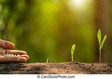 mão, árvore, agricultura, plantar, fazendeiro, soil., sementes, crescendo, milho, meio ambiente, conceito, ou