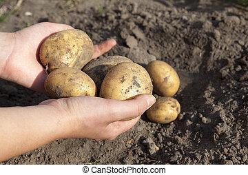mão, batatas