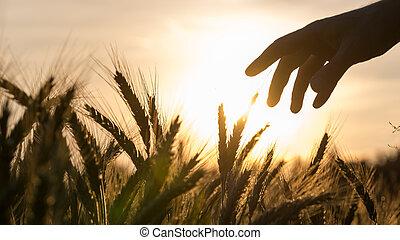 mão, de, um, agricultor, tocar, trigal