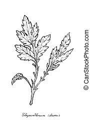mão, desenhado, de, crisântemo, folhas, branco, fundo