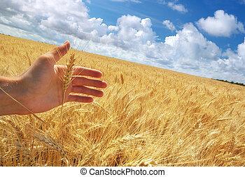 mão humana, ahd, trigo