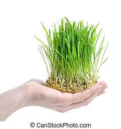 mão humana, segurando, grama verde, branco