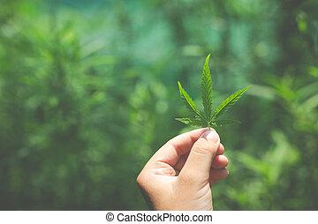 mão, leaves., marijuana