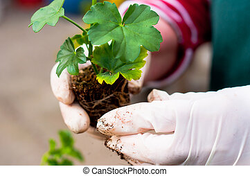 mão, potting, jovem, planta verde, em, solo