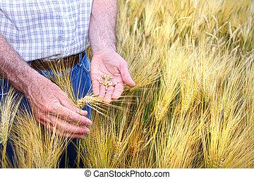 mãos, com, segurando, trigo, grãos