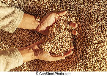 mãos, human, harvest.