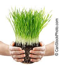 mãos humanas, segurando, grama verde, com, chão