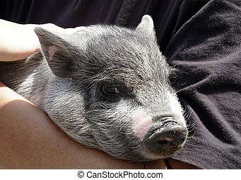 mãos, muito, pequeno, porca, animal, jovem, agradável