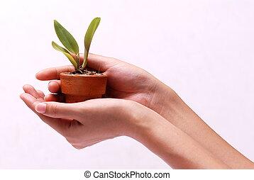mãos, segurando, planta