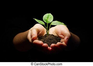 mãos, segurando, sapling, em, solo