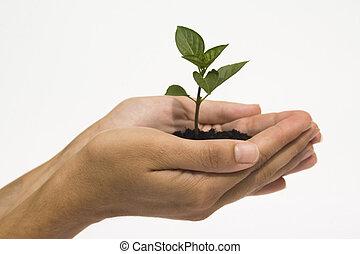 mãos, segurando, seedling