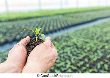 mãos, segurando, seedling, com, chão, em, um, greenhouse.