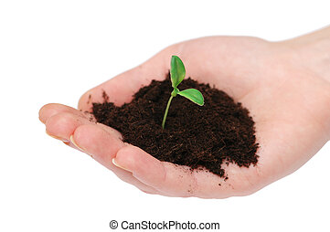 mãos, segurando, seedling, isolado, branco, fundo